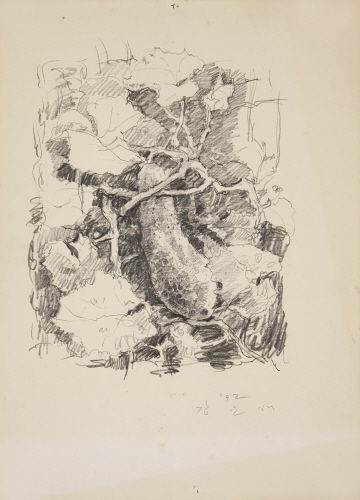 Water Cucumber, 1992, Pencil on paper, 54x39cm